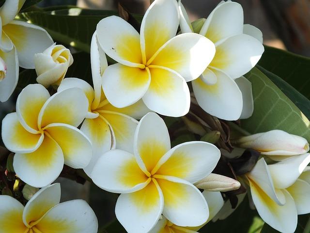 南国の花プルメリアとトロピカルビレッジ